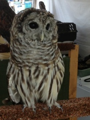 Anastasia the Barred Owl