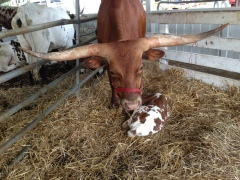 Mama Longhorn and her new calf