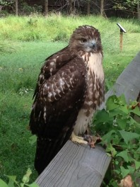 Red-tail close