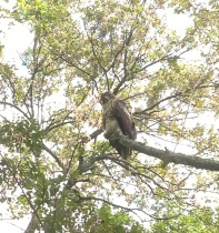 Red-tail in tree