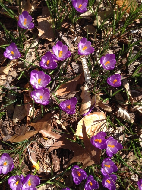 Crocuses blooming (1)