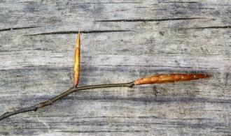 Beech leaf buds