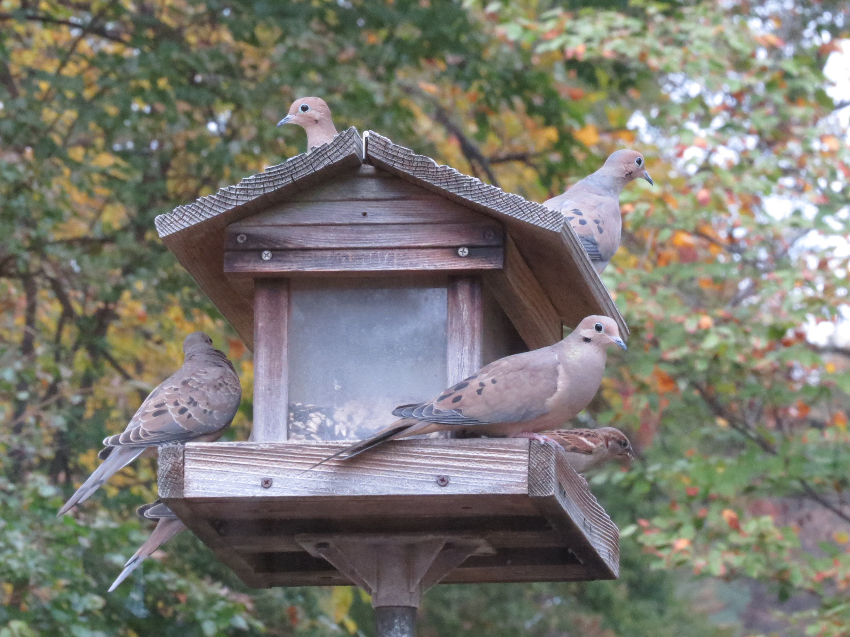 Mourning Doves and friend